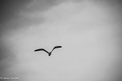 DSC_2623 (Simone Cervarelli) Tags: seagull gabbiano civitavecchia cielo lazio italia italy sky bianco bianconero black bw nikon nero nital d7200 nikond7200 white w