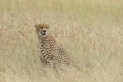 Male Cheetah - Acinonyx jubatus (rosebudl1959) Tags: 2018 kenya masaimara zebraplains cheetah male mugie