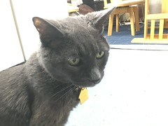 """Is it dinner time yet?"" (sjrankin) Tags: 22june2018 edited animal cat bonkers closeup floor kitchen yubari hokkaido japan"