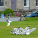 Herring-gulls at a discarded chip box, 2018 Jun 08 -- photo 1