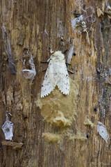 Falena bianca (Milo Manica) Tags: falena butterfly angera italia italy palude oasi bruschera canon eos 60d