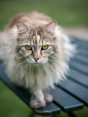 Cat on a Table (natures-pencil) Tags: cat animal table portrait pet feline tabby dof subejectseparation garden greeneyes