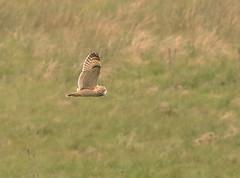 Short Eared Owl (acerman17) Tags: flight flying hunting wildlife nature shortearedowl owl hillside