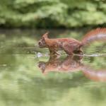 Rode eekhoorn - Sciurus vulgaris thumbnail
