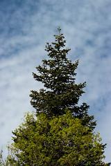 Evergreen (NinjaCat1212) Tags: dynamicsky light daylight weather utah natural outdoors blue sky landscape nature tree
