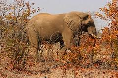 Elephant in an Autumn landscape (Pixi2011) Tags: elephants autumn krugernationalpark big5 wildlife nature africa animals