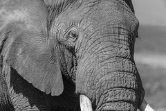 Portrait of a bull elephant (tmeallen) Tags: elephant bull closeup blackandwhite ear eye tusks wrinkledskin wildlife safari ngorongorocaldera tanzania springtime eastafrica