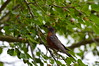 Robin With Mouthful (ScrewBall_9) Tags: robin bird berries tree summer