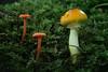 Cohabiting Species - 062118-111635 (Glenn Anderson.) Tags: fungus macro closeup nikon outdoor spores forest nature wood woodrot bokeh stones uwharrienationalforest natural cap fungi moss