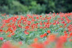 Poppies. (pstone646) Tags: poppies flowers red green nature fauna field meadow kent trees bokeh dof softfocus