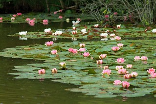 Water Lilies, Moat Pond ,Thursley Common.