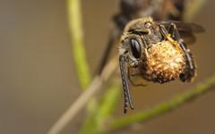 Rooster (snomanda) Tags: sweat bee insect invertebrate arthropoda hymenoptera animal roosting halictidae apoidea critter bug roost macro