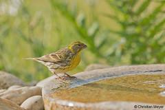 2018.05.24 - 1953 - Serin cini Bois Bas © (chmeyer51) Tags: oiseau serincini fringillidae serinusserinus