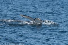 NYC0005 (ah_kopelman) Tags: nyc0005 2018 cresli creslivikingfleetwhalewatch megapteranovaeangliae montaukny vikingfleet vikingstarship flukeshot humpbackwhale whalewatch