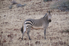 Mountain zebra (Giulia La Torre) Tags: namibia africa nature wild travel traveling photography etosha national park etoshapark wildlife life fauna animali animals himba people zebra
