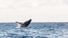 Look at me! (Gaw') Tags: whale baleine cétacé cetacea mammal marine marinelife life fauna faune animal wild ocean