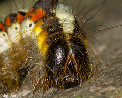Grey Dagger Moth Caterpillar (Danny Gibson) Tags: insect insects invertebrate macro bugs macrophotography macroinsectphotography dgpixorguk sigma105mmmacro olympuse5 wildlife nature naturephotography wildlifephotography greydaggermothcaterpillar grey dagger moth caterpillar
