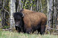 Wood Bison (Bison bison athabascae), Mile 475 on the Alaska Highway  -  (Selected by GETTY IMAGES) (DESPITE STRAIGHT LINES) Tags: nikon d800 nikond800 nikkor2470mm nikon2470mm nikongp1 paulwilliams despitestraightlines flickr gettyimages getty gettyimagesesp despitestraightlinesatgettyimages alaskahighway liardhotsprings canada britishcolumbia bison bisonandcalf bisonandherbaby americanbison bullwoodbison buffalo bisonbisonathabascae