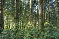 Sous-bois (Titole) Tags: trees fern sapiniere green trunks undergrowth titole nicolefaton forest wood jura lesnans