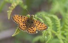 Small Pearl-bordered Fritillary (Boloria selene). (Bob Eade) Tags: eastsussex woodland wildlife small smallpearlborderedfritillary boloriaselene parkcornerheath butterflyconservation butterfly fauna bracken fritillary sussex macro bokeh