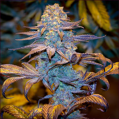 purple-kush1 (Watcher1999) Tags: purple kush marijuana seeds cannabis thc strains california medical bob marley growing weed smoking ganja reggae legalize it great buds big bud