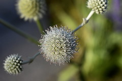 Virus (Robin Shepperson) Tags: atoms virus nature wildlife flower d3400 nikon berlin germany garten britzer green white summer garden bokeh