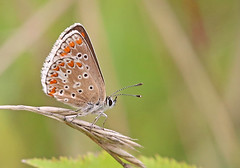 Brown Argus - Michael Bird (Michael R Bird) Tags: brownargus ariciaagestis wilford nottingham clay pits macro canon f28l butterfly butterflies