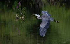 Great blue Heron. (mandokid1) Tags: canon 1dx canon100400 birds heron