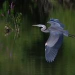 Great blue Heron. thumbnail
