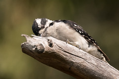 DSC_3856.jpg Downy Woodpecker, Natural Bridges SB (ldjaffe) Tags: downywoodpecker