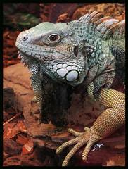 017093 Iguana Ouwehands Dierenpark in Rhenen The Netherlands C (mensinkr) Tags: animal dieren reptielen reptiles lizard hagedis leguaan iguana zoo dierentuin