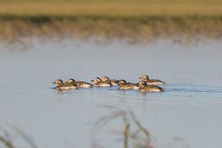 Морянка, clandula hyemalis, Long-tailed duck
