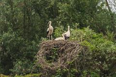CICOGNE NEL NIDO    ----    STORKS IN THE NEST (Ezio Donati is ) Tags: uccelli birds animali animals alberi trees natura nature italia parcodelticino areaprovinciapavia