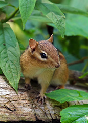 Chipmunk (TomIrwinDigital) Tags: mammal animal sciuridae nedrie park rbgblooms royalbotanicalgarden burlington ontario