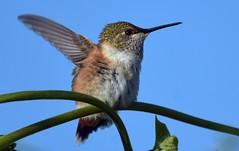 Morning stretches (Snixy_85) Tags: hummingbird rufoushummingbird selasphorusrufus colonyfarm