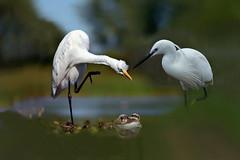 Ospiti indesiderati (Zz manipulation) Tags: art ambrosioni zzmanipulation natura uccelli gru rospo acqua