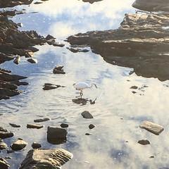 Little egret looking for dinner (rjmiller1807) Tags: egret littleegret bird reflection water pool sea seapoint capetown westerncape southafrica 2018 olympus olympustough olympustg4 olympustoughtg4 rockpool birds aves avian clouds sky