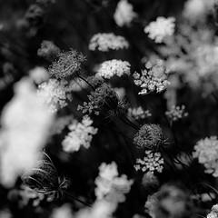 Summer Wildflowers 050 (noahbw) Tags: d5000 dof middleforksavanna nikon abstract blackwhite blackandwhite blur bw depthoffield flowers monochrome natural noahbw prairie square summer wetlands