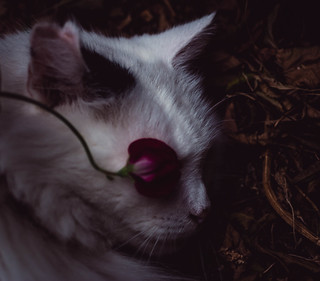 Puss in rose coloured glasses. 😊  #idontwannasee #monocle #meditation #cat #catoftheday #sunshine #wildflowers #sweetpea #moodygrams #Flickr_mood #art #ethereal #lightandshadow #ethereal_moods #cats #london #blackandwhite #catwalk #catlover #catsofF
