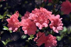 2018-05-08 (1) azaleas (JLeeFleenor) Tags: photos photography md maryland bowie bowiemd outside outdoors flowers flora pink azaleas