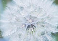 opalescent (rockinmonique) Tags: dandelion seed seedhead fluffy whimsical pretty white blue green macro bokeh moniquewphotography canon canont6s tamron tamron45mm copyright2018moniquewphotography