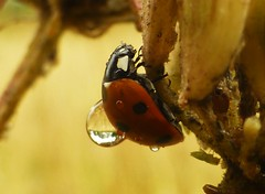 Hydration Backpack..x (Lisa@Lethen) Tags: ladybird ladybug insect wildlife nature macro field summer water droplet drop
