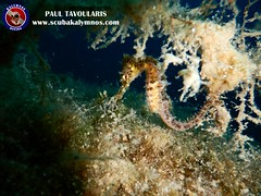 "Seahorse - Kalymnos Diving • <a style=""font-size:0.8em;"" href=""http://www.flickr.com/photos/150652762@N02/43360039794/"" target=""_blank"">View on Flickr</a>"