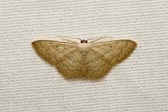 Geometridae, Scopula sp. - Isunga, Uganda (Nick Dean1) Tags: animalia arthropoda arthropod hexapoda hexapod insect insecta lepidoptera moth isunga kibalenationalpark kibale uganda