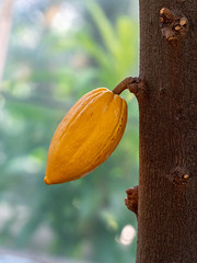 The beginning of happiness (samytux) Tags: theobroma cacao tree cocoa evergreen cocoamass cocoapowder confectionery ganache chocolate orange cacaopod brown green happiness beautiful colorful unitedstates botanicgarden washingtondc usa wood fruit