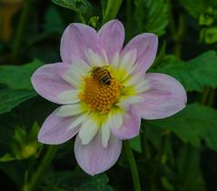 Teesbrook Audrey dahlia (frankmh) Tags: plant flower dahlia teessbrookaudreydahlia sofiero helsingborg skåne sweden macro bee insect