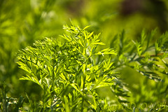 Carrots 1 (LongInt57) Tags: food plant leaf leaves herb garden growing green nature outdoor kelowna bc canada okanagan carrots tops carrottops