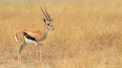 Nairobi-Nationalpark 015 (ovg2012) Tags: eudorcasthomsonii kenia kenya nairobinationalpark safari thomsongazelle thomsonsgazelle