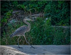 Great Blue Heron (Summerside90) Tags: birds birdwatcher greatblueheron august summer nature wildlife ontario canada