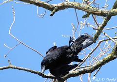 Attention je plonge ! (Jean-Daniel David) Tags: oiseau corneille corvidé arbre branche ciel cielbleu bleu noir closeup réservenaturelle yverdonlesbains suisse suisseromande vaud